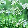Agapanthus - Cold Hardy White
