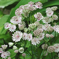 Astrantia major (Masterwort)