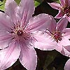 Clematis - Nelly Mosser - Clematis