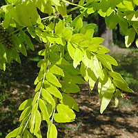 Gleditsia triacanthos (Honey Locust)