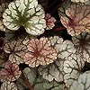 Heuchera - Silver Scroll - Alum Root