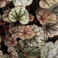 Heuchera - 'Silver Scroll' (Alum Root)