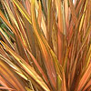 Phormium - Flamingo - Variegated New Zealand Flax