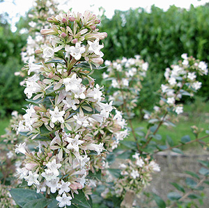 Abelia Chinensis Abelia Information Pictures Cultivation Tips