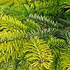 Abies nordmannianna - Golden Spreader - Golden spreading Fur