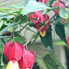 Abutilon megapotamicum - Wisley Red - Abutilon
