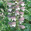 Acanthus spinosus - Bears Britches