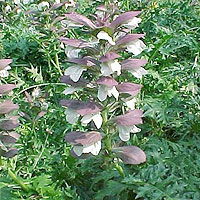 Acanthus spinosus (Bear's Britches)