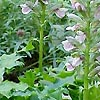 Acanthus hungaricus - Bears Britches