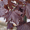 Acer platanoides - Crimson King - Purple Norway Maple