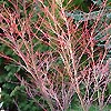 Acer palmatum - Senkaki - Coral Bark Maple