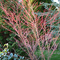 Acer palmatum - 'Senkaki' (Coral Bark Maple)