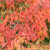 Acer palmatum - Dissectum - Cut leaved Japanese maple