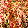 Acer palmatum - click for full details