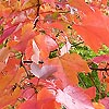 Acer rubrum - October Glory - Red Maple