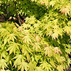 Acer  palmatum - Orange Dream