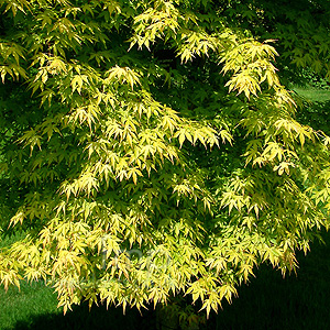 acer palmatum 39 katsura 39 japanese maple information. Black Bedroom Furniture Sets. Home Design Ideas