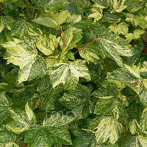 Acer Pseudoplatanus Varegatum Leopoldii Variegated Maple