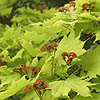 Acer shirasawanum - aureum - Golden Leafed Japanese Maple