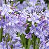 Agapanthus Kingstone Blue
