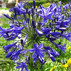 Agapanthus - 'Windsor Grey' (African Lily)