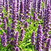 Agastache  - Blue Fortune - Giant Hyssop