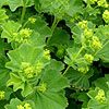Alchemilla mollis - click for full details