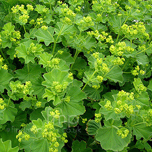 Alchemilla mollis (Ladies Mantle, Alcemilla)