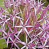 Allium cristophii - Ornamental Onion, Allium