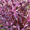 Allium firmament - Ornamental Onion, Allium