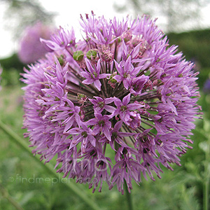 Allium  hollandicum - 'Purple Sensation' (Allium, Ornamental Onion)