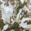 Amelanchier asiatica - Amelanchier