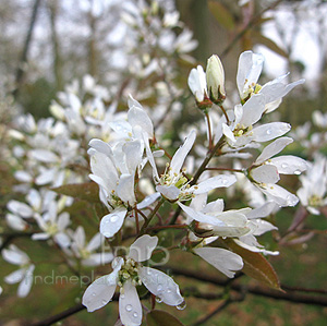 Amelanchier asiatica (Amelanchier)