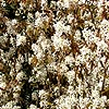 Amelanchier lamarckii - click for full details