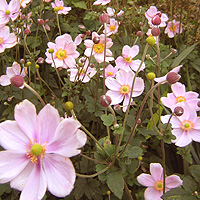 Anemone hupehensis - 'September Charm' (Wind Flower)