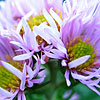 Aster  novae-angliae - Harringtons Pink - Aster