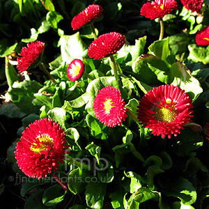 Bellis  perennis - 'Bellisima Red' (Ornamental Daisy)