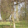 Betula pendula - Youngii - Weeping Birch
