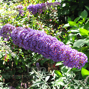 Buddleja davidii - 'Nanho Blue' (Butterfly Bush)
