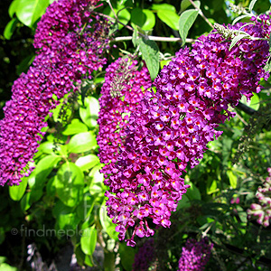 Buddleja davidii - 'Nanho Purple'