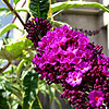 Buddleja davidii - Harlequin - Variegated butterfly bush