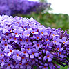 Buddleja davidii - Lochinch - butterfly bush