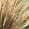 Calamagrostis x acutiflora - Karl Foerster - Feather Reed Grass
