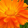Calendula officinalis - English Marigold, Calendula