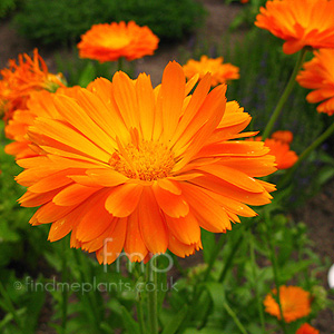 Calendula officinalis (English Marigold, Calendula)