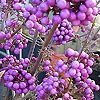 Callicarpa bodinieri - Profusion - Beauty Berry