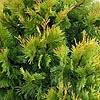 Calocedrus decurrens  - Berrima Gold - Incense Cedar, California Incense  Cedar