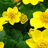 Caltha palustris - Marsh Marigold, King Cup