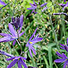 Camassia leichtlinii - Lady Eve Price - Bears Grass, Camassia
