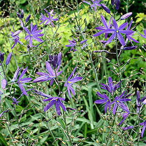 Camassia leichtlinii - Lady Eve Price